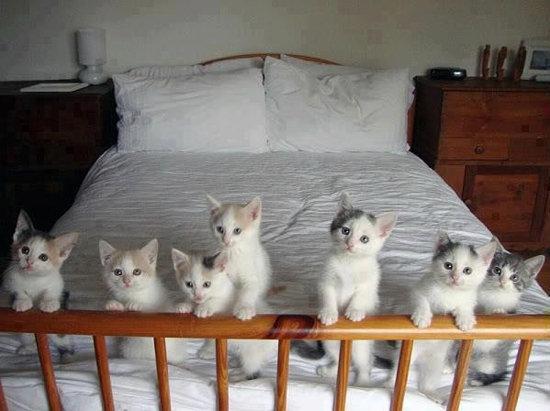 عکس چند گربه ی سفید و ملوس روی تخت